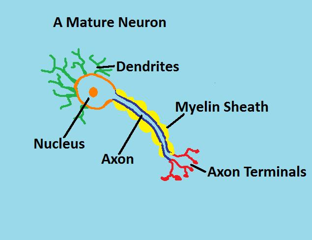 A mature neuron